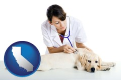 california a female veterinarian caring for a Labrador retriever