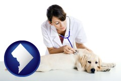 washington-dc a female veterinarian caring for a Labrador retriever