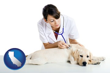 a female veterinarian caring for a Labrador retriever - with California icon