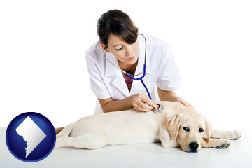 a female veterinarian caring for a Labrador retriever - with Washington, DC icon