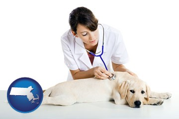 a female veterinarian caring for a Labrador retriever - with Massachusetts icon