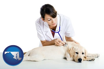 a female veterinarian caring for a Labrador retriever - with Maryland icon
