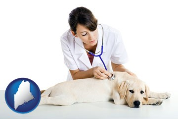 a female veterinarian caring for a Labrador retriever - with Maine icon