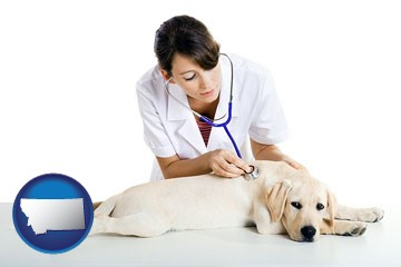 a female veterinarian caring for a Labrador retriever - with Montana icon