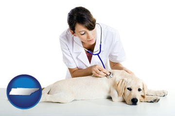 a female veterinarian caring for a Labrador retriever - with Tennessee icon