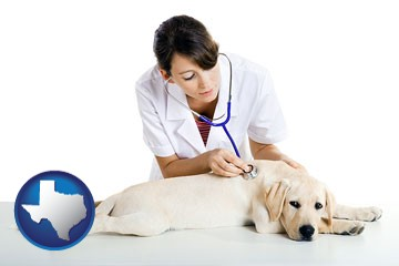 a female veterinarian caring for a Labrador retriever - with Texas icon