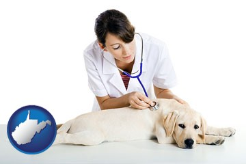 a female veterinarian caring for a Labrador retriever - with West Virginia icon